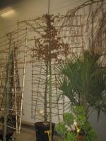 Carpinus betulus SCHERM 12/14 C35