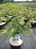 Corylopsis pauciflora C5 30/40