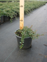 Cotoneaster micr. Streib's Findling C1.5 25/+