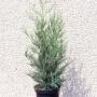 Cupr. Leylandii '2001' C3 60/80