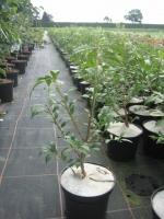 Euonymus alatus C3 30/40