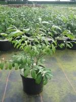Euonymus alatus Compactus C3 30/40