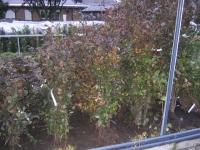 Fagus Sylvatica Purpurea 1+2 BW 125/150
