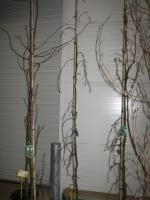 Fagus syl. Pendula Purple Fountain 6/8 C20
