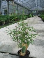 Fargesia Asianwonder C10 80/100