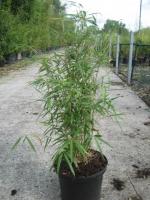 Fargesia robusta Pingwu C10 100/125