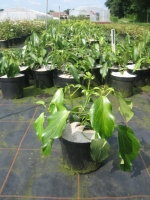 Hedera colchica Arborescens C3 25/+