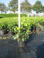 Hedera helix Arborescens C2 30/+