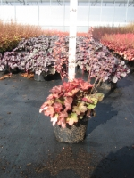 Heuchera Cherry Cola C2