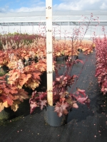 Heuchera Fire Chief C2