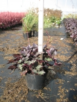 Heuchera Frosted Violet C2