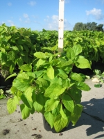 Hydrangea arborescens Annabelle  C3 30/40