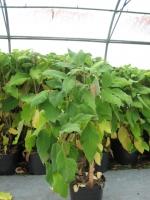 Hydrangea aspera macrophylla 80/100 C10