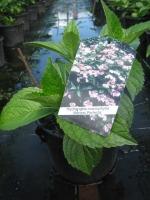 Hydrangea macro. Mariesii Perfecta C3 30/+ cm