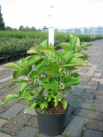 Hydrangea macro. Gertrud Glahn C3 30/+ cm