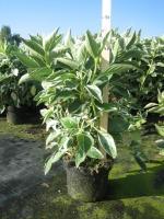 Hydrangea macro. TELLER Tricolor C3 30/+ cm