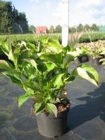 Hydrangea macro Renate Steiniger C3 30/+ cm