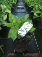Hydrangea macrophylla  WIT C3 30/+ cm