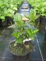 Hydrangea macrophylla  Rood C3 30/+ cm