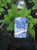 Hydrangea macrophylla  BLAUW C3 30/+ cm