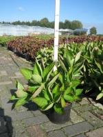 Hydrangea macrophylla TELLER WIT C3 30/+ cm