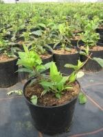 Hydrangea paniculata tardiva C2 30/40