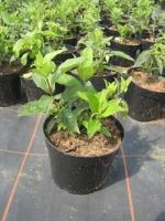 Hydrangea paniculata Unique C2 30/40