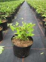 Hydrangea paniculata Grandiflora C2 30/40
