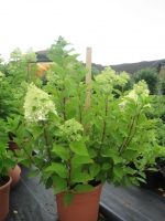 Hydrangea paniculata limelight C12 60/+ cm