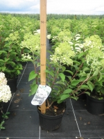 Hydrangea paniculata Bobo C3 40/+ cm