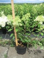 Hydrangea paniculata Pinky Winky C3 30/+ cm