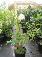 Hydrangea paniculata Vanille Fraise C3 40/+ cm