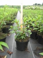 Hydrangea paniculata Vanille Fraise C5 60/+ cm