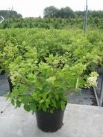 Hydrangea paniculata limelight  60/80 C10