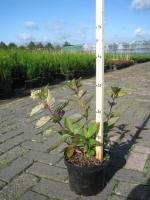 Hydrangea pan. Grandiflora 30/+ C3