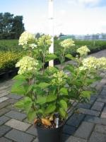 Hydrangea paniculata limelight C3 30/40