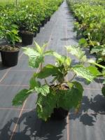 Hydrangea quercifolia C2 30/40