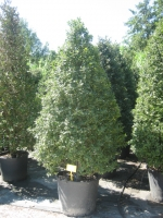 Ilex aquifolium Kegel 200/250 C110