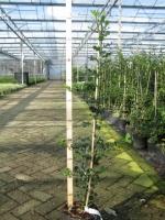 Ilex aquifolium 80/100 C3 gestokt