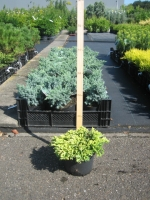 Juniperus Hor. Golden Carpet C2 20/25