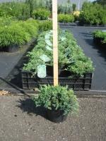 Juniperus Hor. Wiltonii C2 20/25
