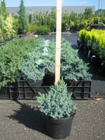 Juniperus Squamata Blue Star C3 20/25