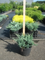 Juniperus Squamata Blue Chip C3 15/+