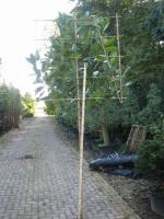 Magnolia grandiflora LEIVORM C15