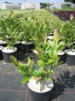 Magnolia soulangeana C3 60/+