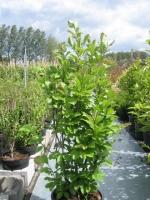 Magnolia soulangeana  120/+ C45