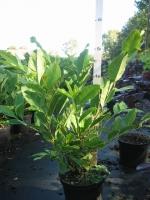 Magnolia stellata 40/+ C3