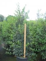 Osmanthus burkwoodii 110/+ C30