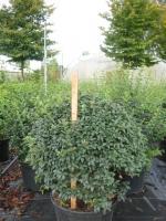 Osmanthus burkwoodii BOL 55/60 C25