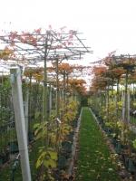 Parrotia persica DAK 14/16 C45